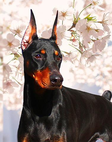 ドーベルマン母犬マリン